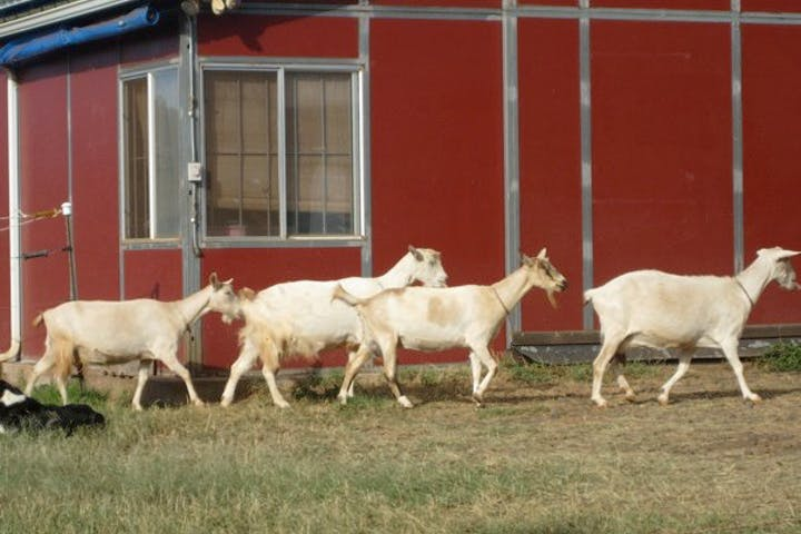 4 white goats walking