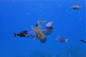 Did you know that Blue Tangs eat Sargassum seaweed?