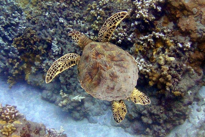 turtle swimming along the reef in Maui