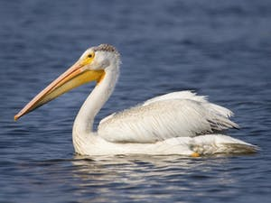 a pelican in front of a body of water