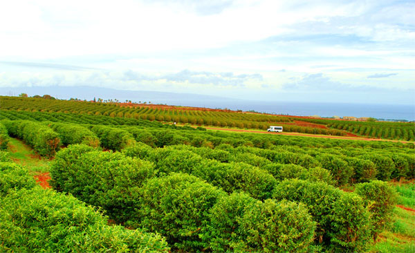 Kaanapali-Coffee-Farms our van