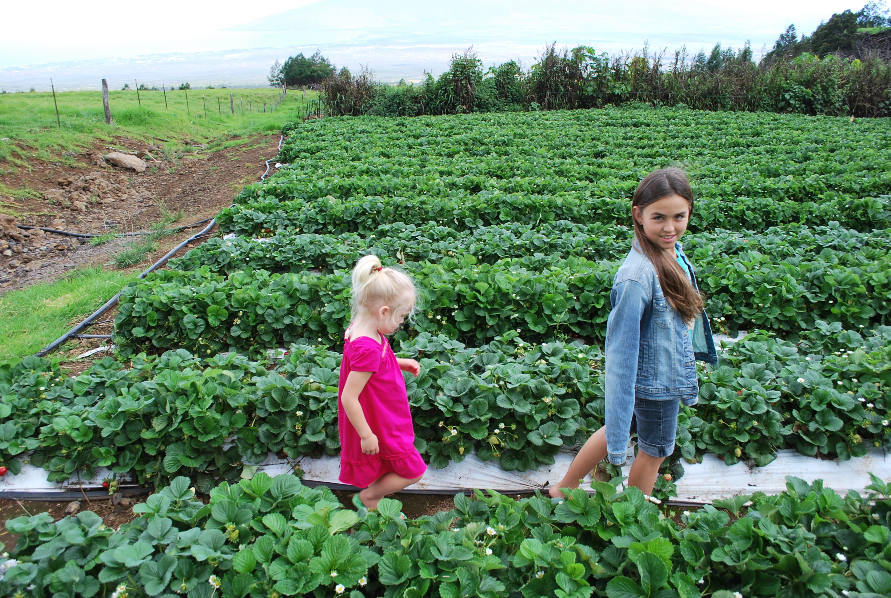 Strawberry Patch at Kula Country Farms
