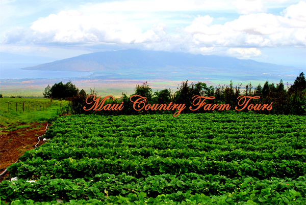 Kula Country Farms Strawberry Patch