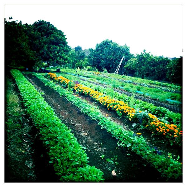 Island Fresh Herbs (Aina Lani farm)