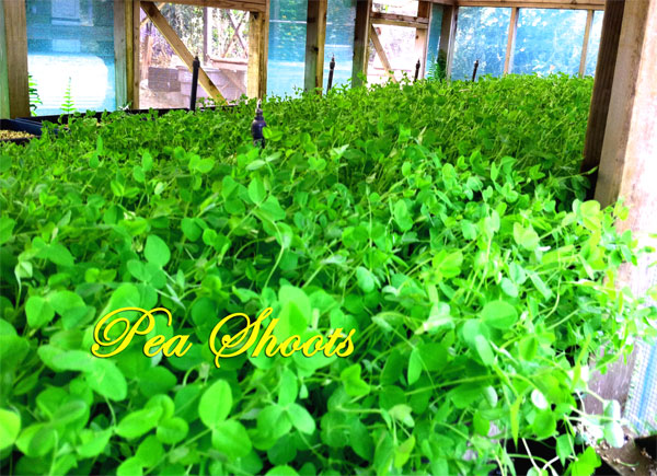 Young Pea plants