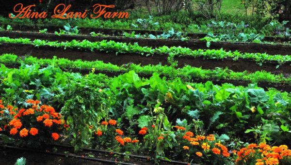 Michael McCoy's Aina Lani (Fresh Island Herbs) Farm