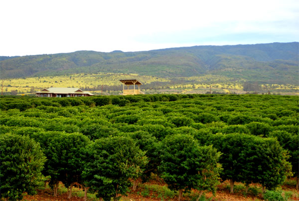 Kaanapali-Coffee-Farms