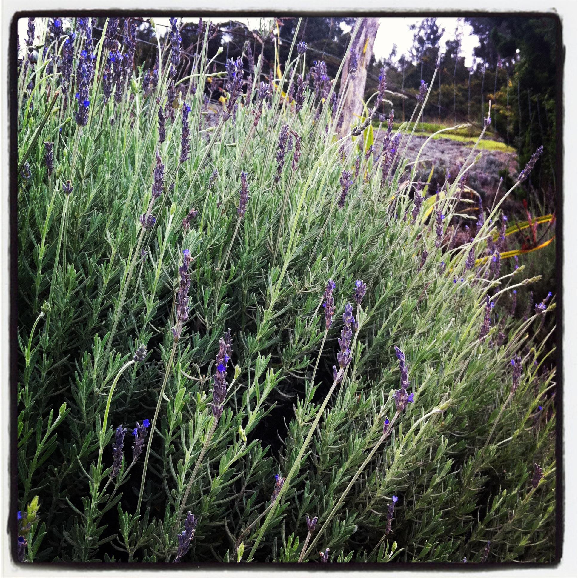 Sweet english lavender