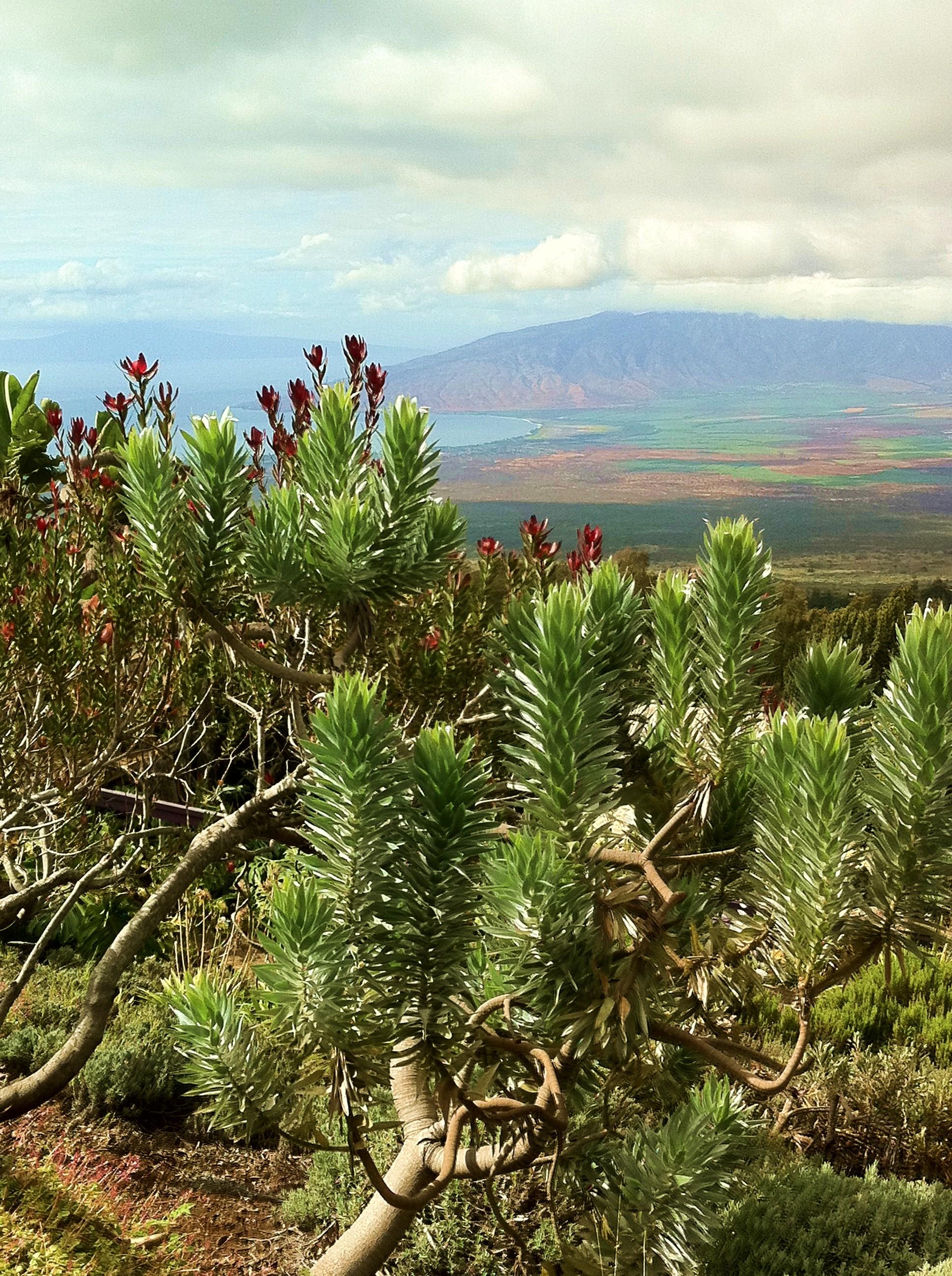 silver leaf proteas on a beautiful day at akl maui