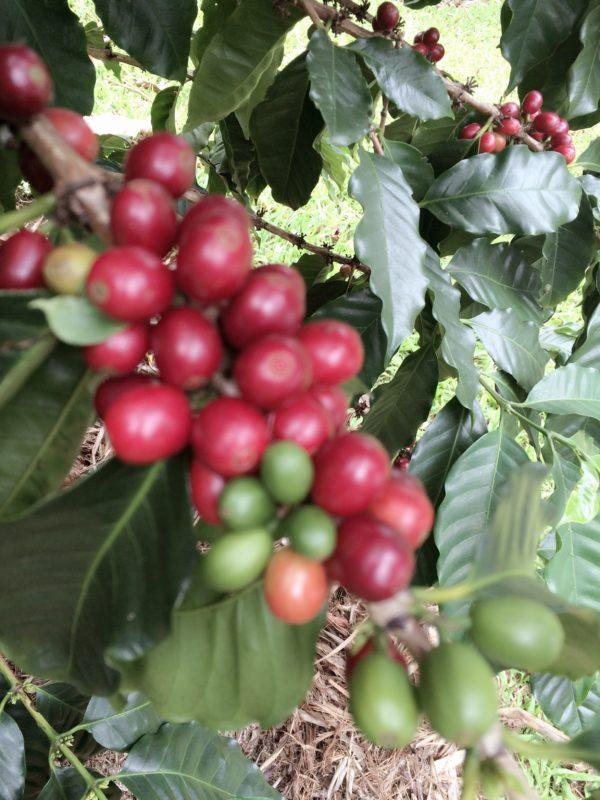 Kula Coffer Cherries