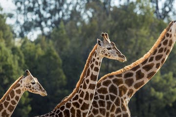 a group of giraffe standing next to a forest