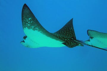Manta Ray swimming underwater