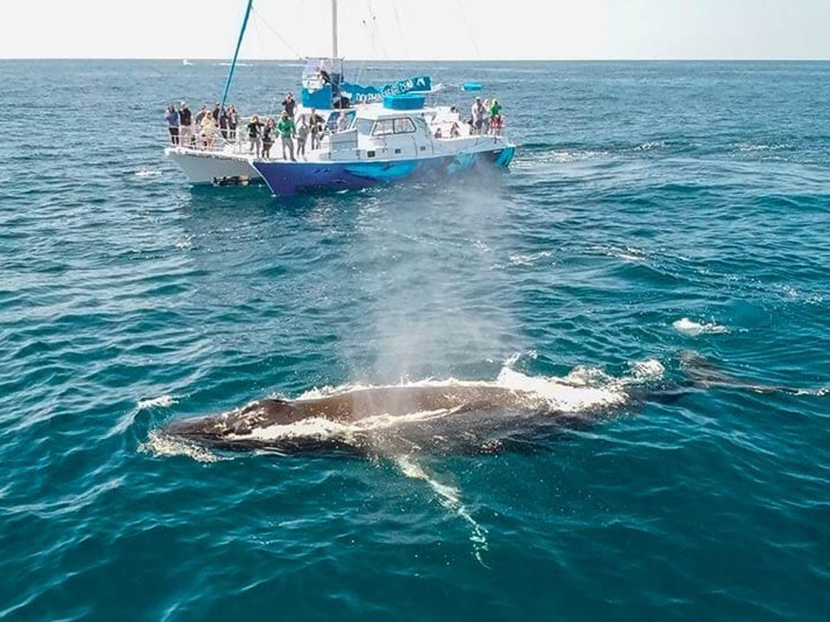 Humpback whale surfacing next to whale watching catamaran Manute'a