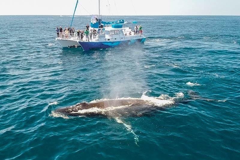 Humpback whale surfacing next to whale watching catamaran Manute'a