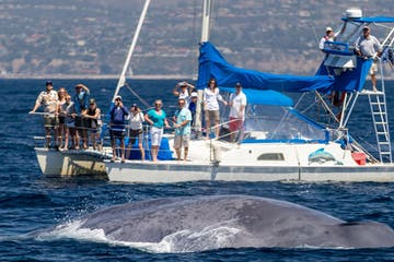 Blue whale surfaces in front of DolphinSafari catamaran
