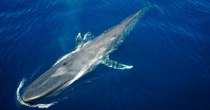 Blue whale, from drone