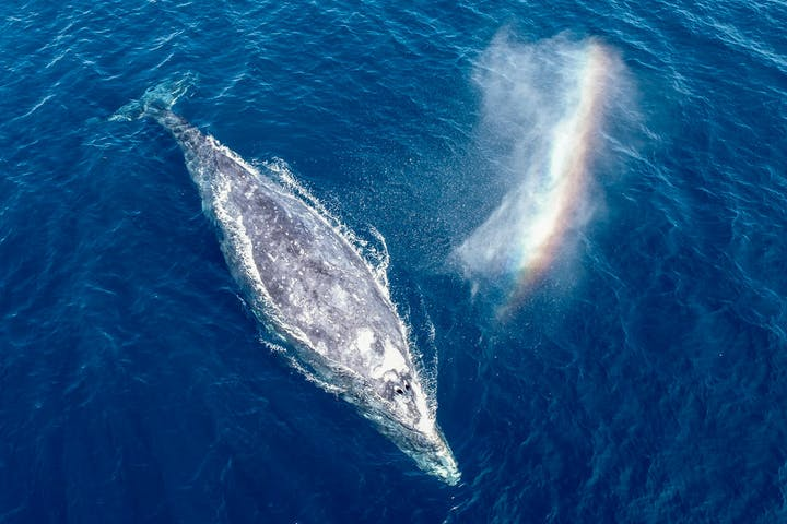 Gray whale with rainbow, from drone