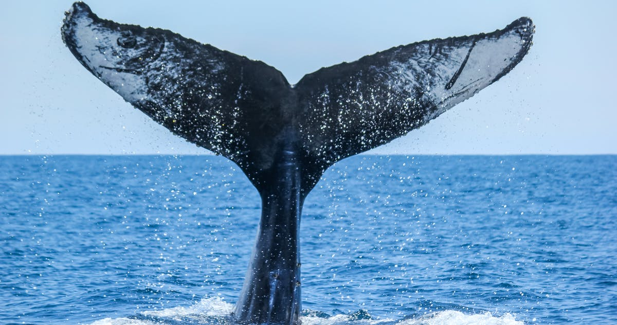 Humpback whale tail seen during Captain Dave's Dolphin and Whale Watching Safari in Dana Point, California