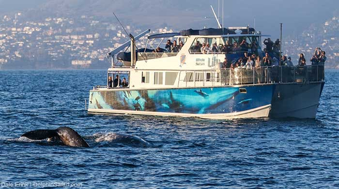 2 Gray Whales next to luxury whale watching catamaran Lily