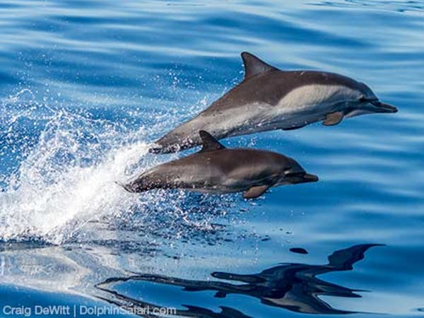 Common Dolphins mom and calf