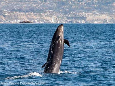 False Killer Whale breaching out of the water