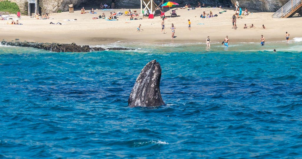 Gray whale spy-hops near the beach