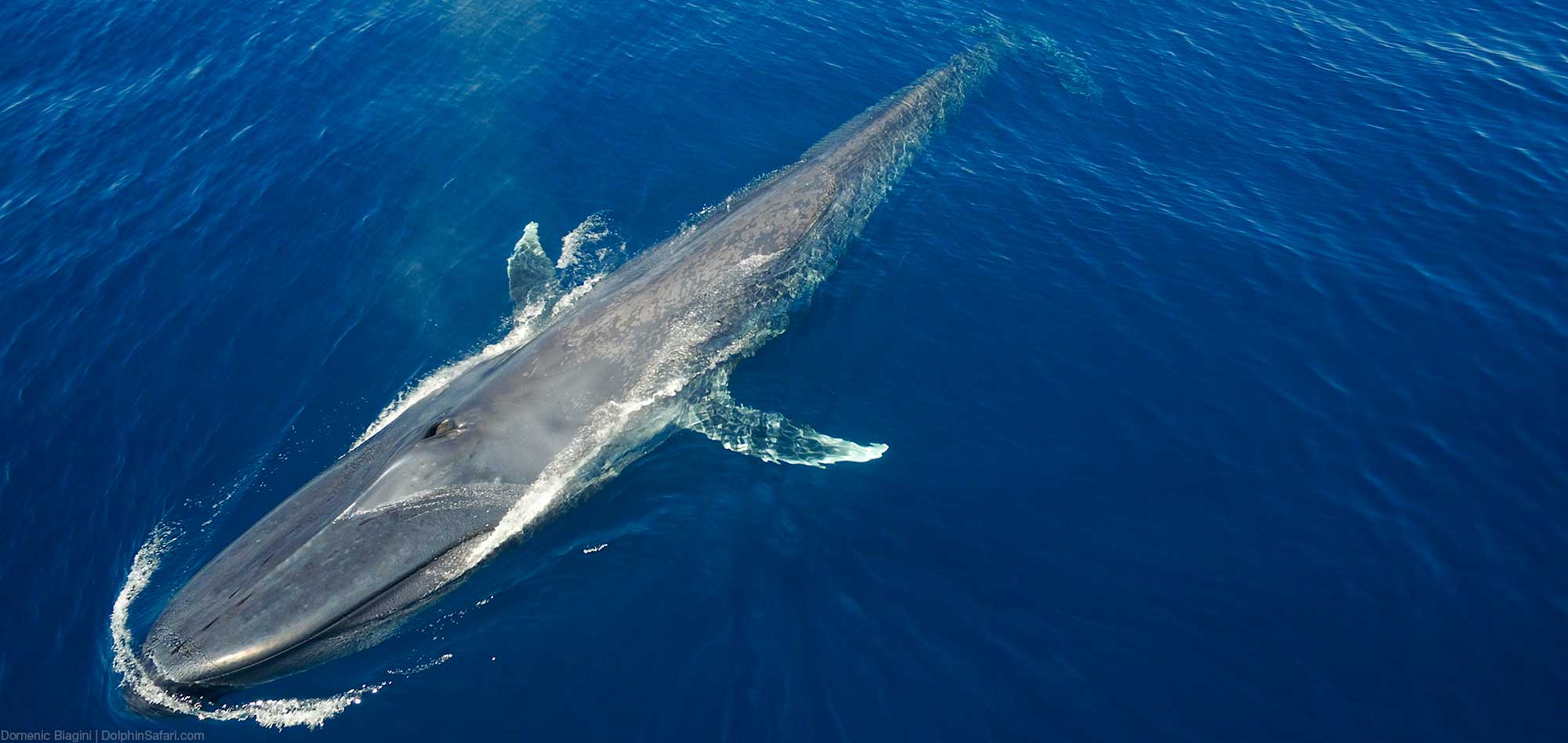Blue Whale Overhead