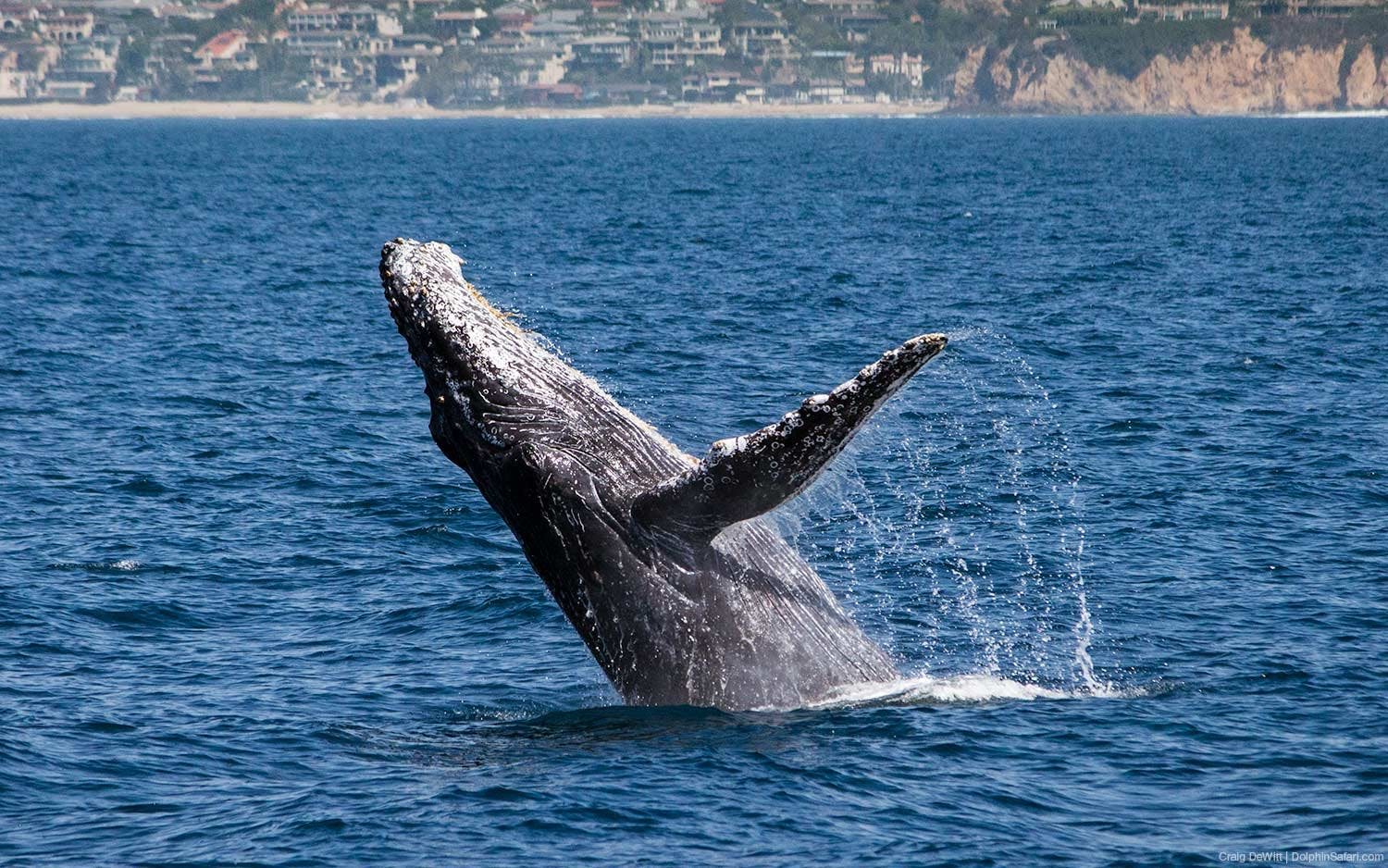 Humpback whale breaching seen during Captain Dave's Dolphin and Whale Watching Safari in Dana Point, California