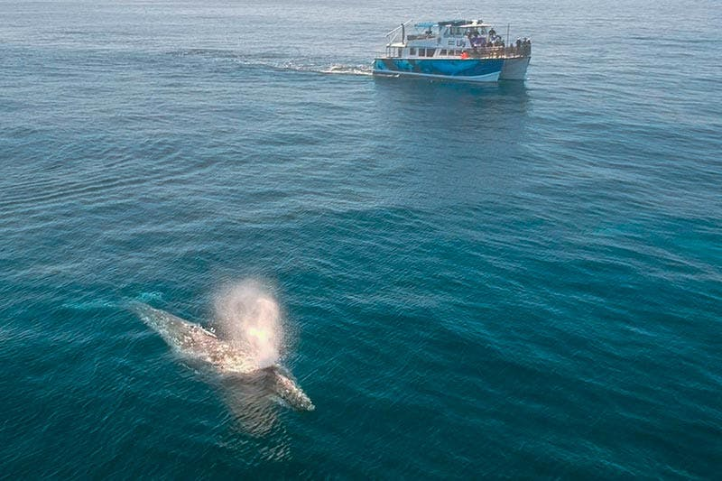 Gray whale surfaces near luxury whale watching catamaran Lily