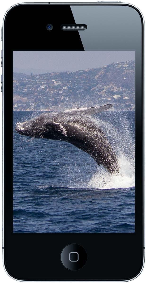 Smartphone showing humpback whale photo
