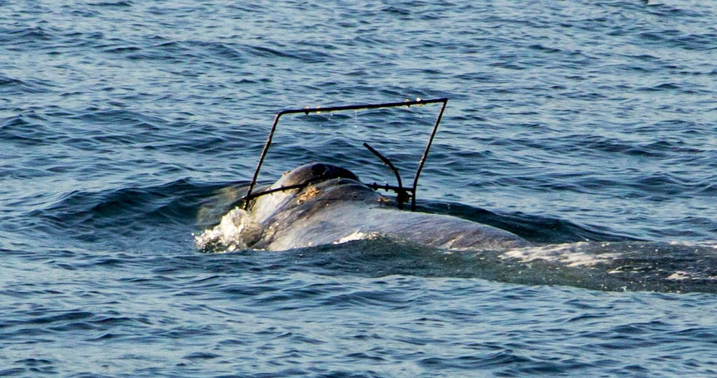 Gray Whale with Metal Frame Around Head