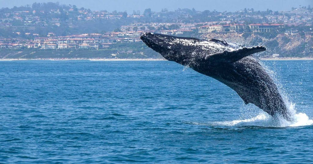 Humpback Whale jumping out of the water in front of Dana Point, CA