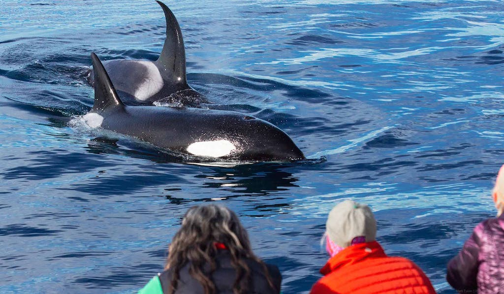 Two killer whales approach passengers on Capt. Dave's catamaran