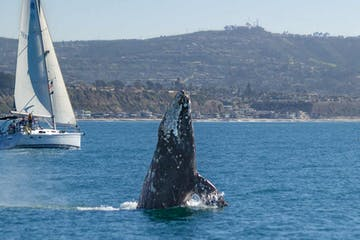Gray Whale Breaching Near Sailboat off Dana Point