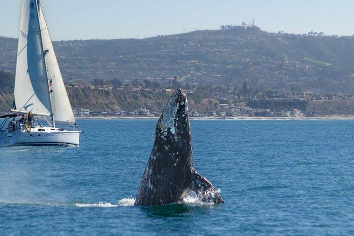 Gray Whale Breaching Near Sailboat off Dana Point