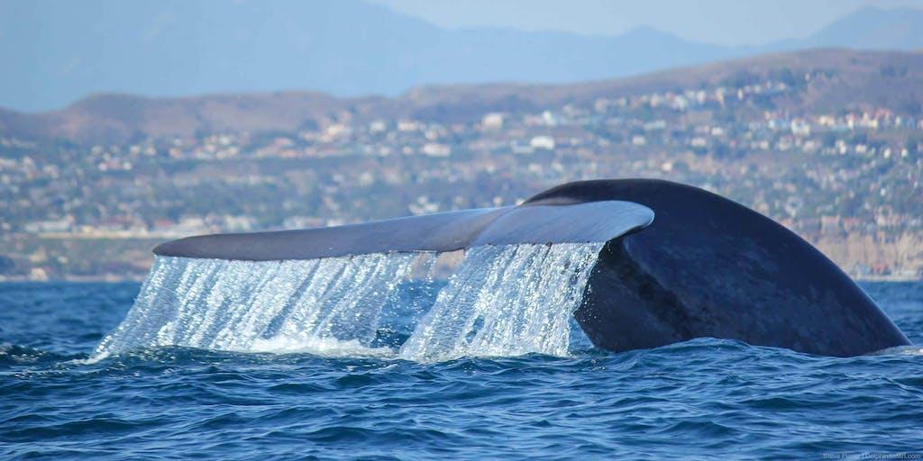Blue Whale Tail off the coast of Dana Point, California