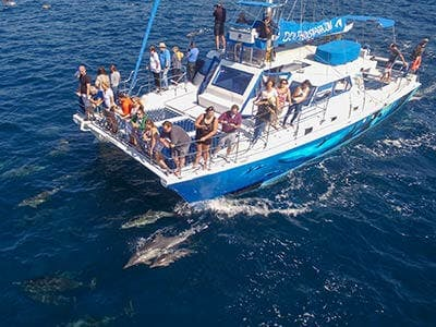 Dolphins play and bow ride with Capt. Dave's whale watching catamaran