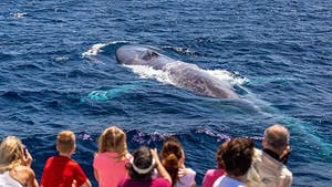 Blue whale surfaces in front of whale watchers near Dana Point, CA
