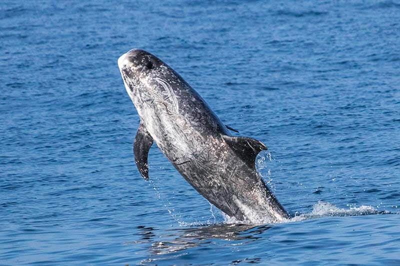 Wild Risso's dolphin jumping in the air near Dana Point, California
