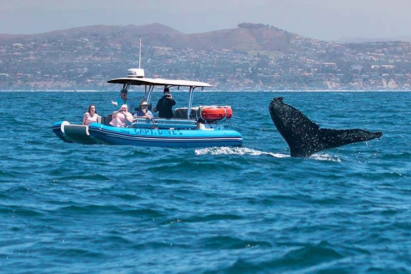 Humpback whale flukes next to whale watching zodiac, Fast Cat