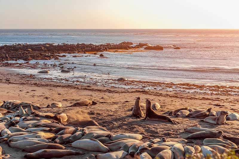 Elephant seals on the beach at San Simeon