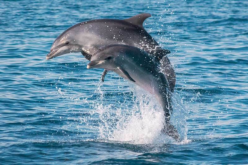 Mom and calf bottlenose dolphins jumping together