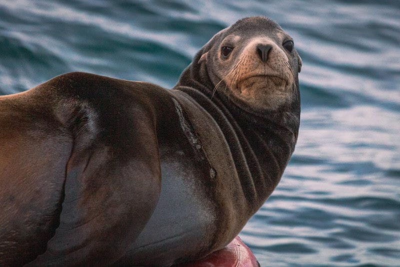 A California sea lion lounging on a buoy