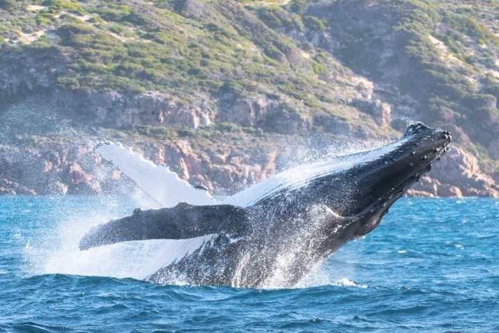 A whale breaching the water in Dunsborough