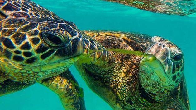 Dive In And Snorkel With Tropical Fish Sea Turtles The Warm Clear Waters Of Hawaii S Famed Waikiki Beach