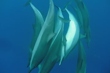 Eight Dolphins swimming