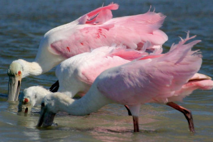 3 pink birds with their beaks in water