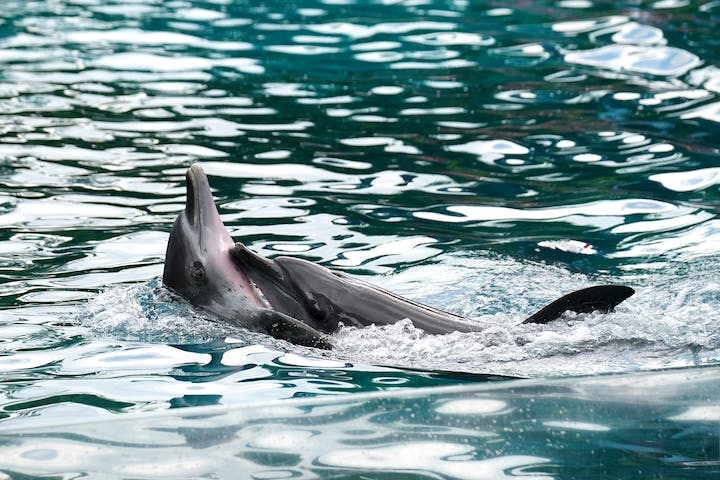 2 dolphins swimming on top of the water