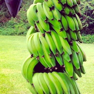 Hawaiian bananas