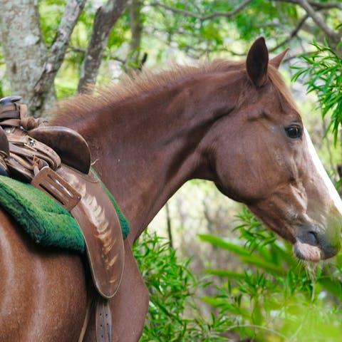 Trigger, a Happy Trails Hawaii horse